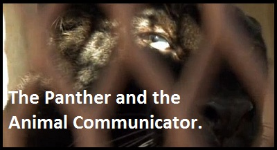 The Panther and the Animal Communicator.Get out your tissues…